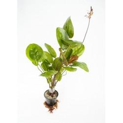 Echinodorus matečný