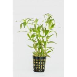 Limnophila aromatica